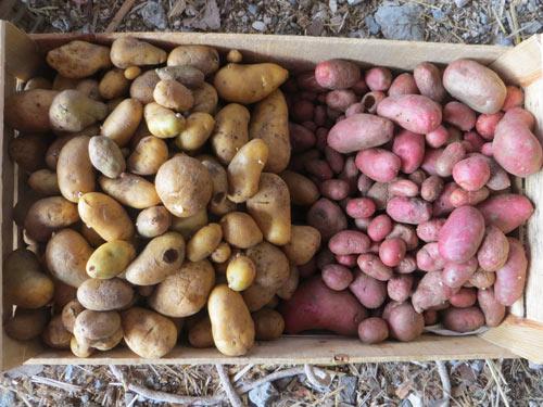 Pommes de terre prêtes à stocker à la cave!