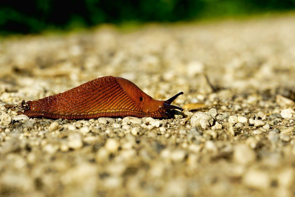 limaces se déplaçant sur des cailloux