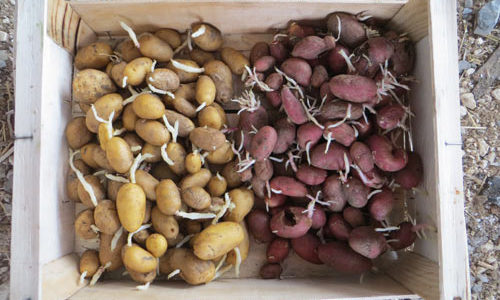 pommes de terre germées