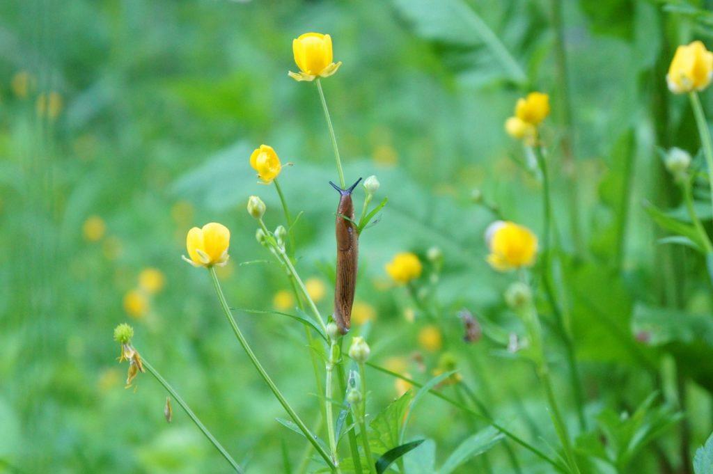 limaces sur une fleur