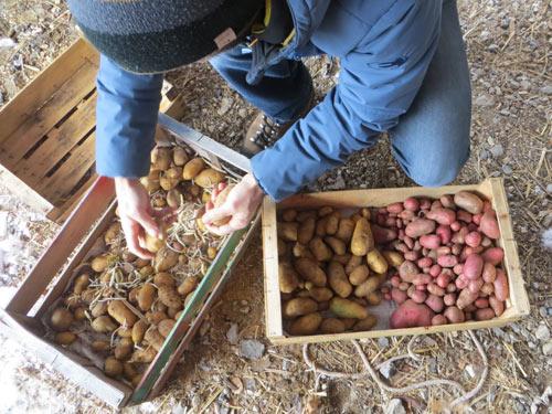 Tri des pommes de terre et suppression des germes