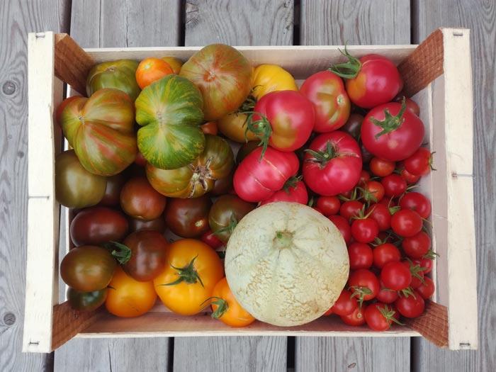 récolte de tomates et melons