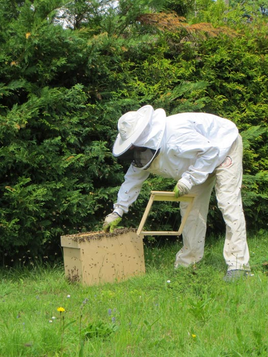 enruchement d'un essaim d'abeilles