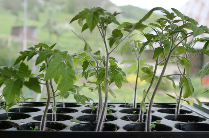 levée de semis de tomates