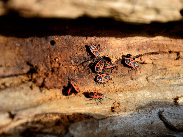Gendarmes insectes