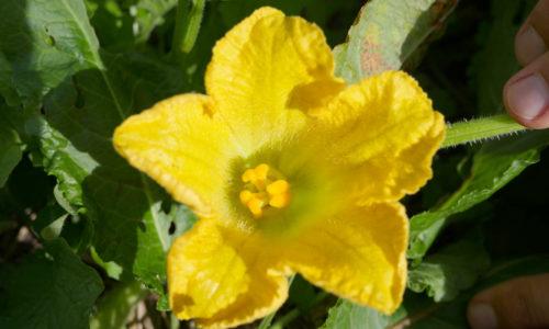 étamines fleur courgette