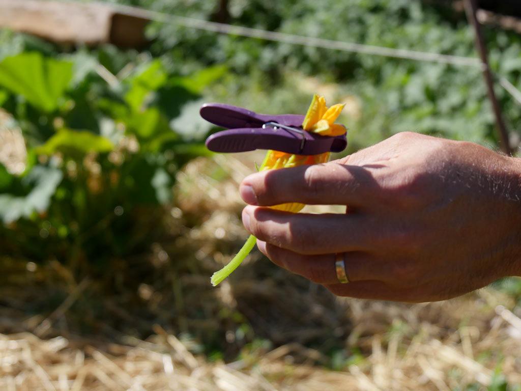 Fleur de courgette mâle