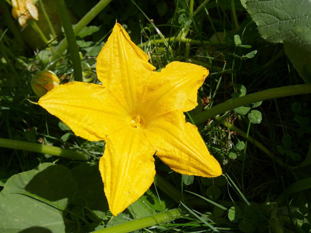 pistil dans la fleur de courgette