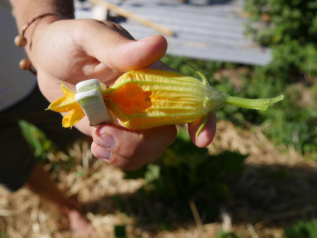 Fleur de courgette mangée