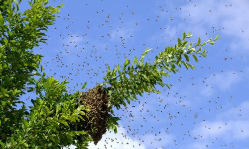 Bourdonnement d'abeilles