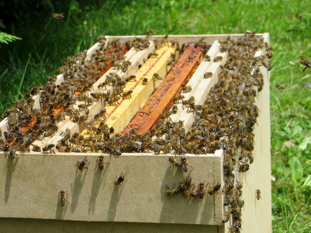 Abeilles s'installant dans une ruchette