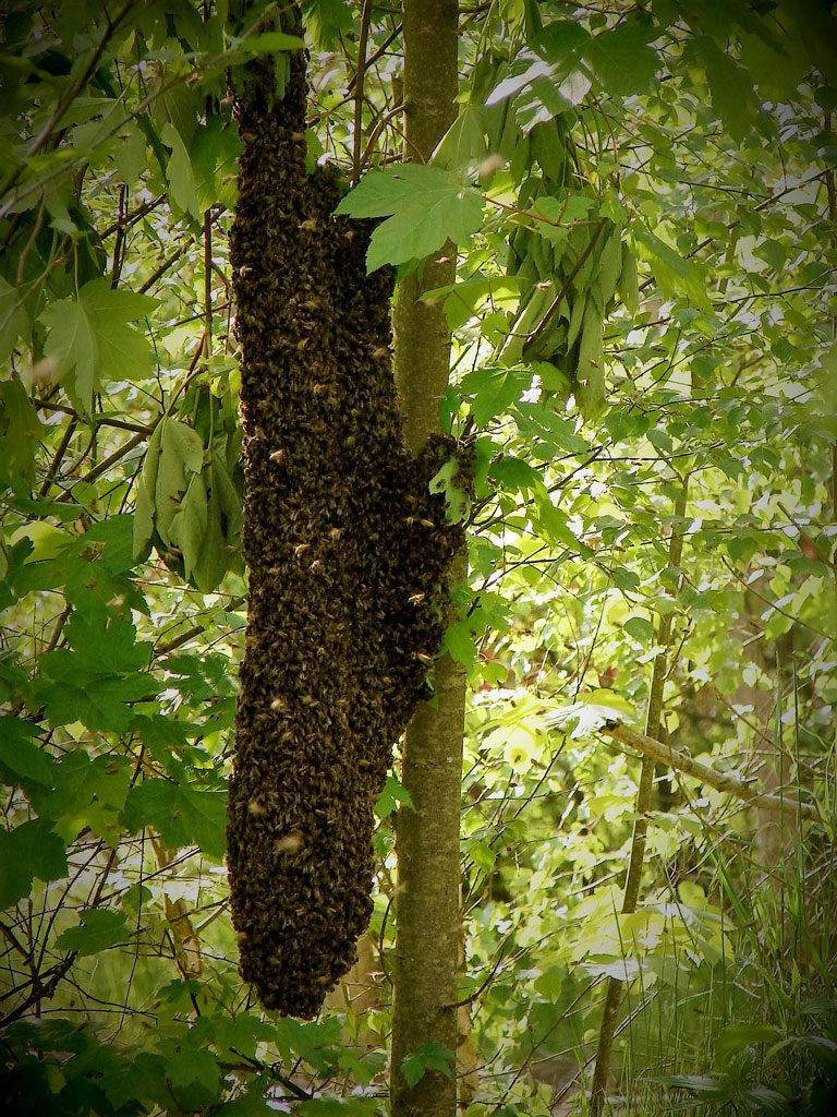 Essaim sur tronc d'arbre