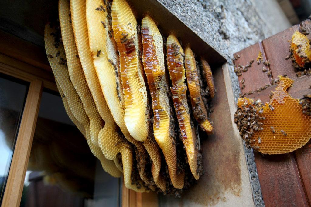 Colonie d'abeille derrière un volet