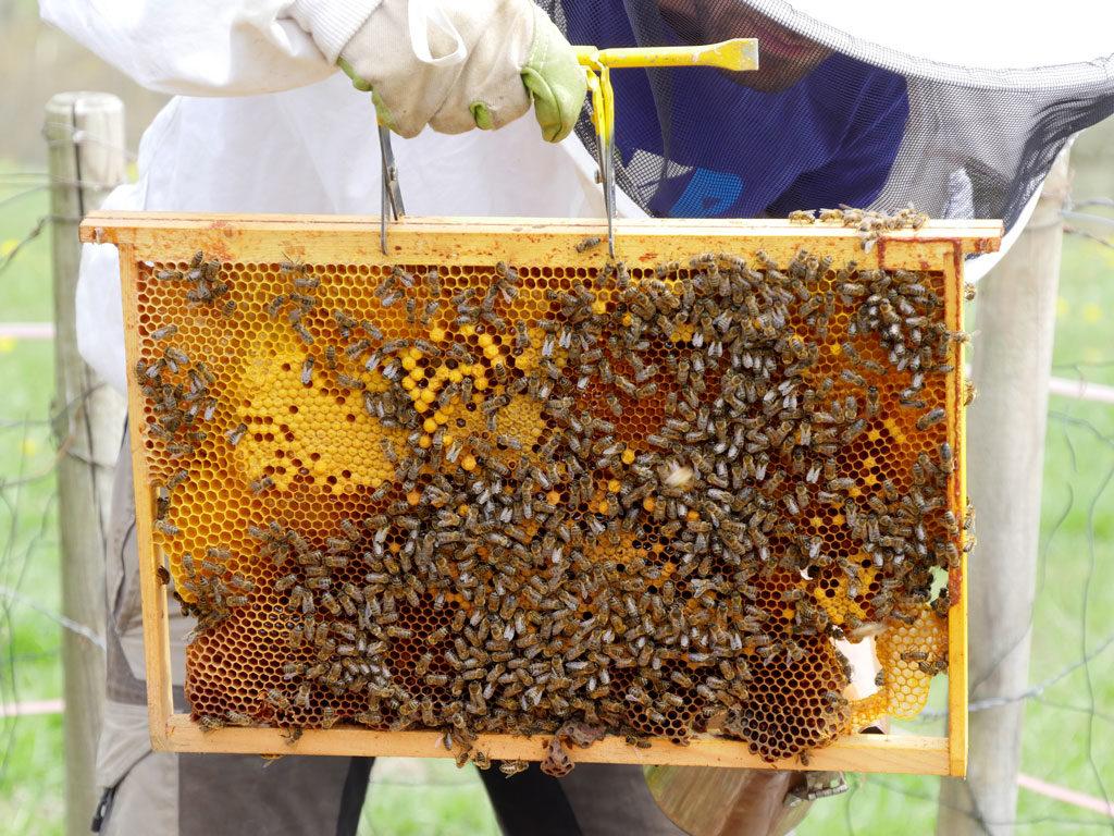 Couvain ou oeufs d'abeilles