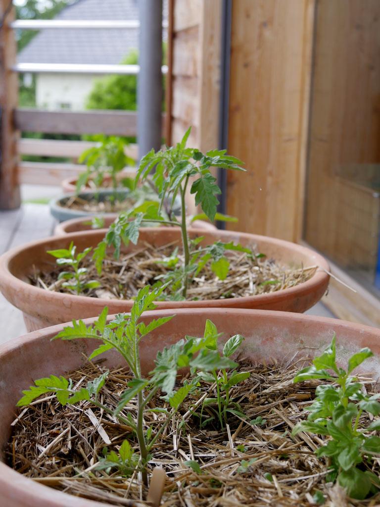 Planter Des Tomates En Pot semis de tomates : tout savoir pour réussir ⋆ au refuge des