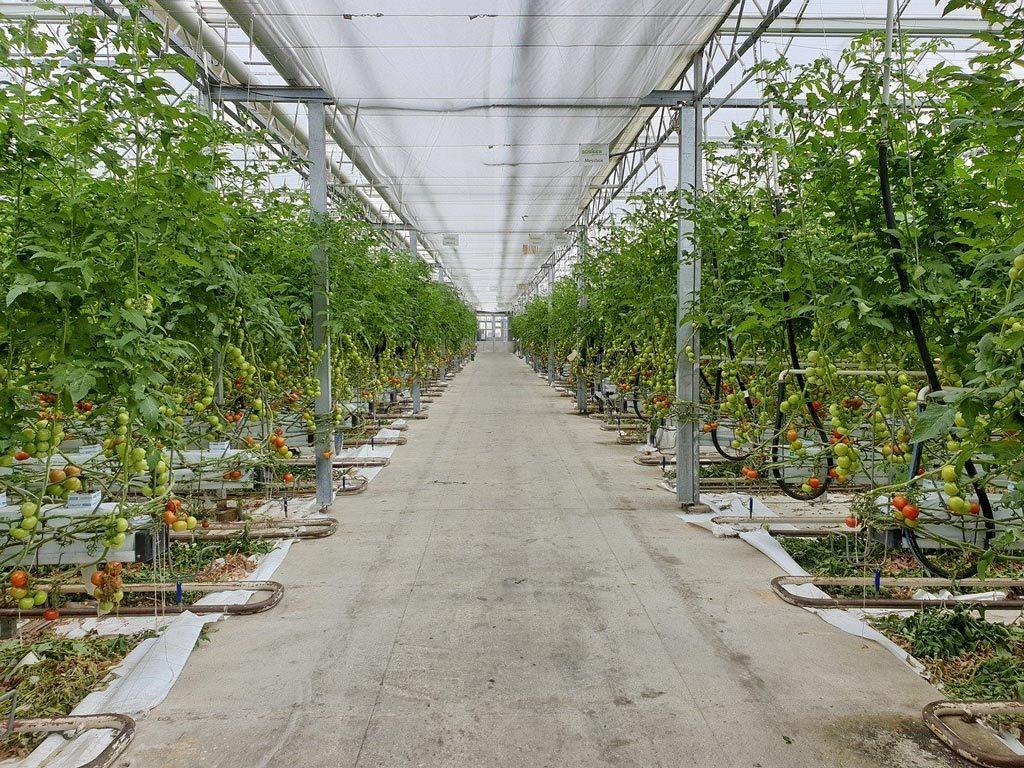 tomates plantées en pépinière