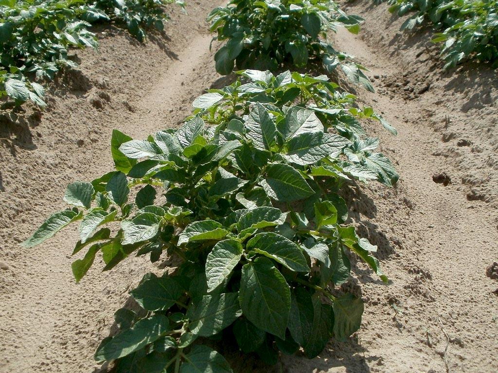Comment planter des pommes de terre sans se fatiguer ? ⋆ au refuge DES GRAINES