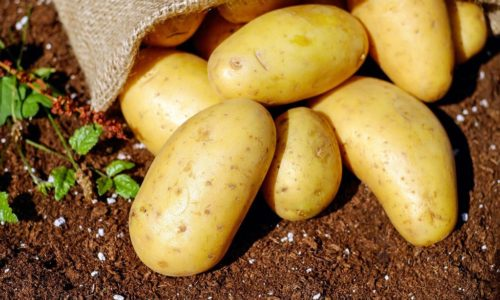récolte pommes de terre sous paille