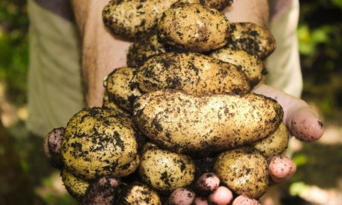 récolte pommes de terre