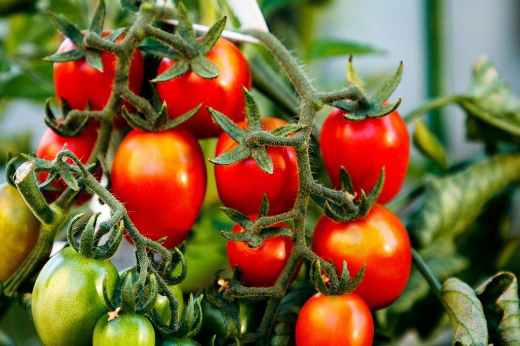 mûrissement tomates