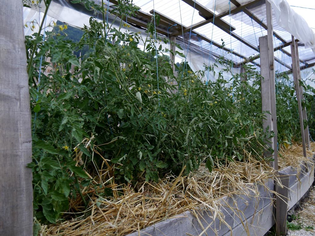 plants de tomates sous paillage