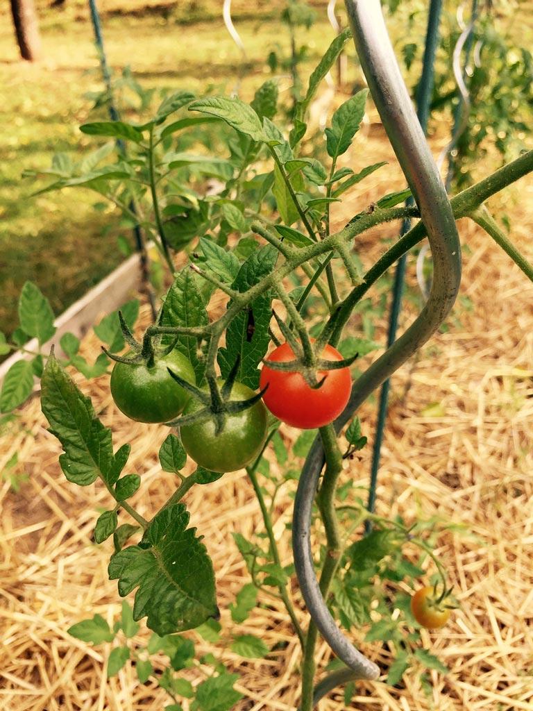 Tuteur à tomates