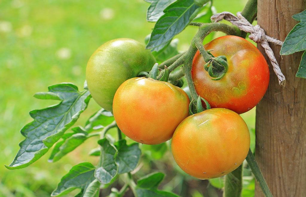 tomates tuteurées