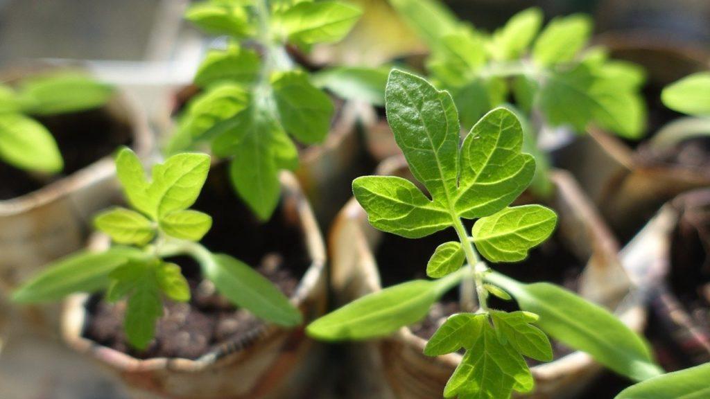 Jeunes plants de tomates
