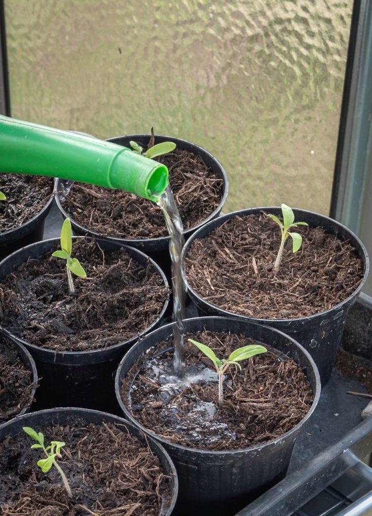 Arrosage des semis de tomates