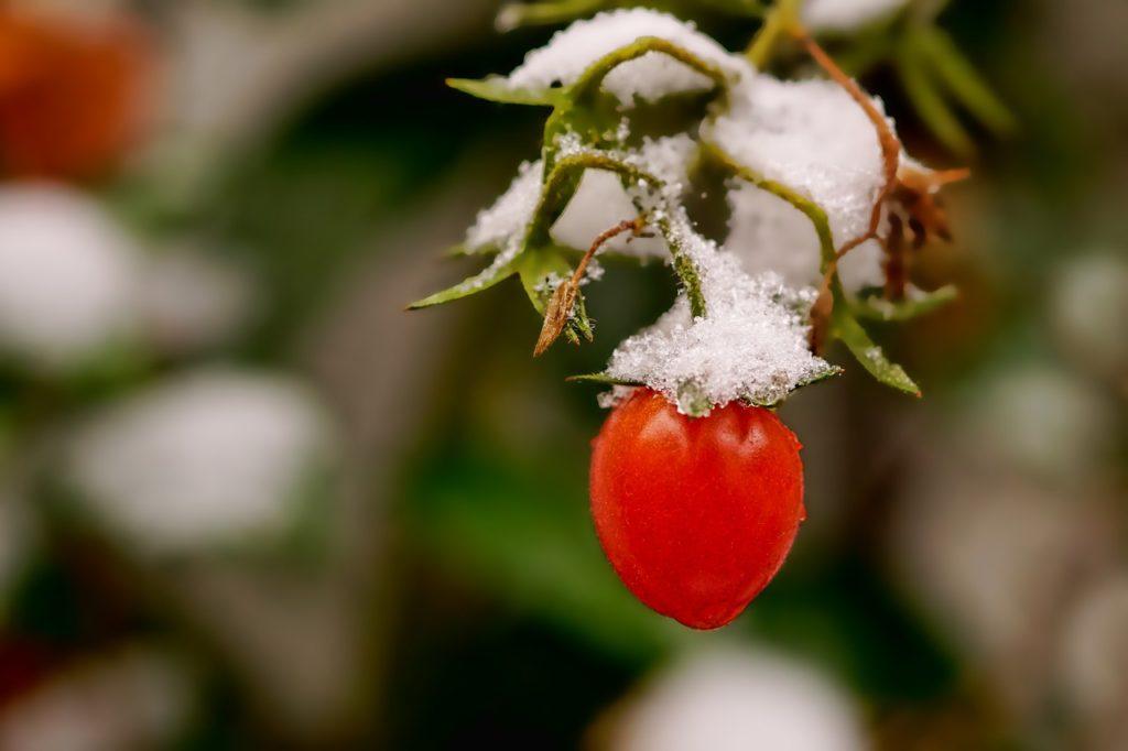 Tomate craignant le gel