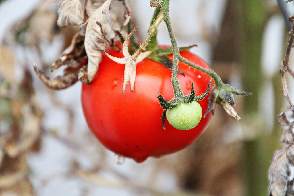 plants de tomates malades