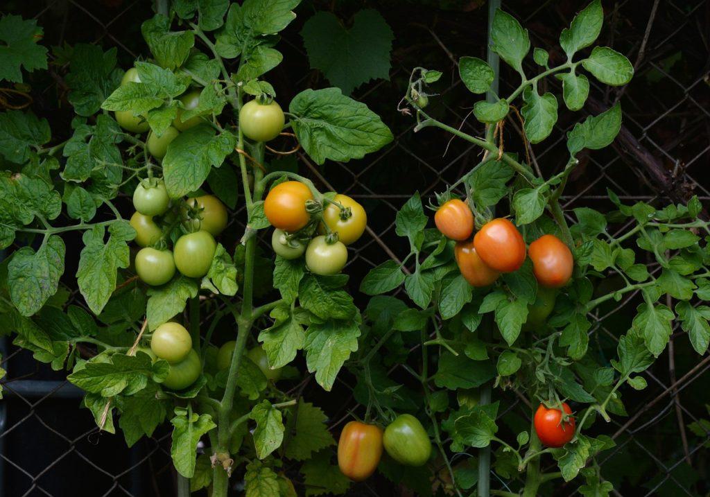 Développement des tomates