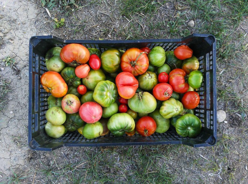 Multiples variétés de tomates