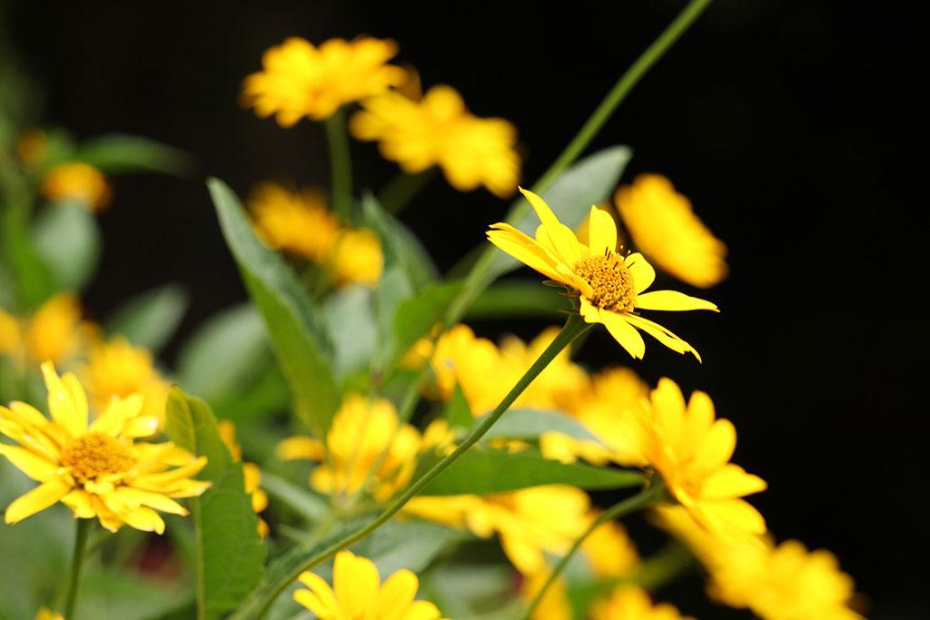 Les fleurs du topinambour ou artichaut de Jérusalem