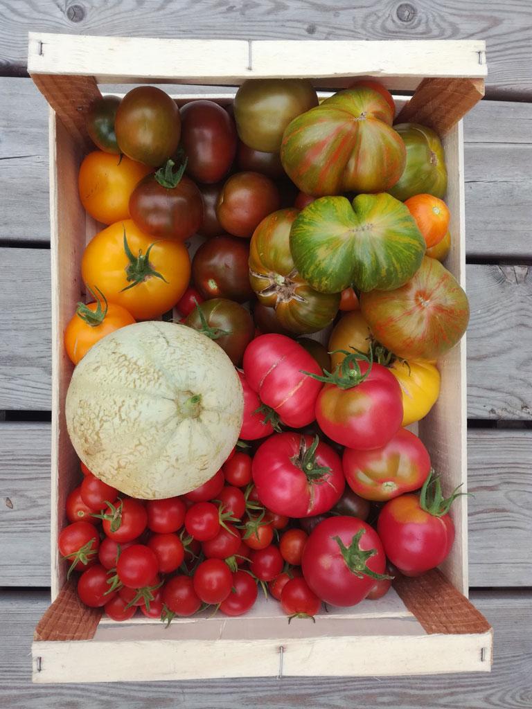 Récolte de tomates pour une autosuffiance alimentaire