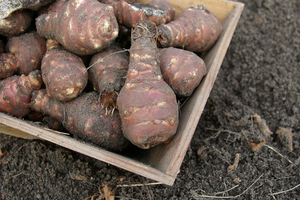Récolte des topinambours au jardin potager